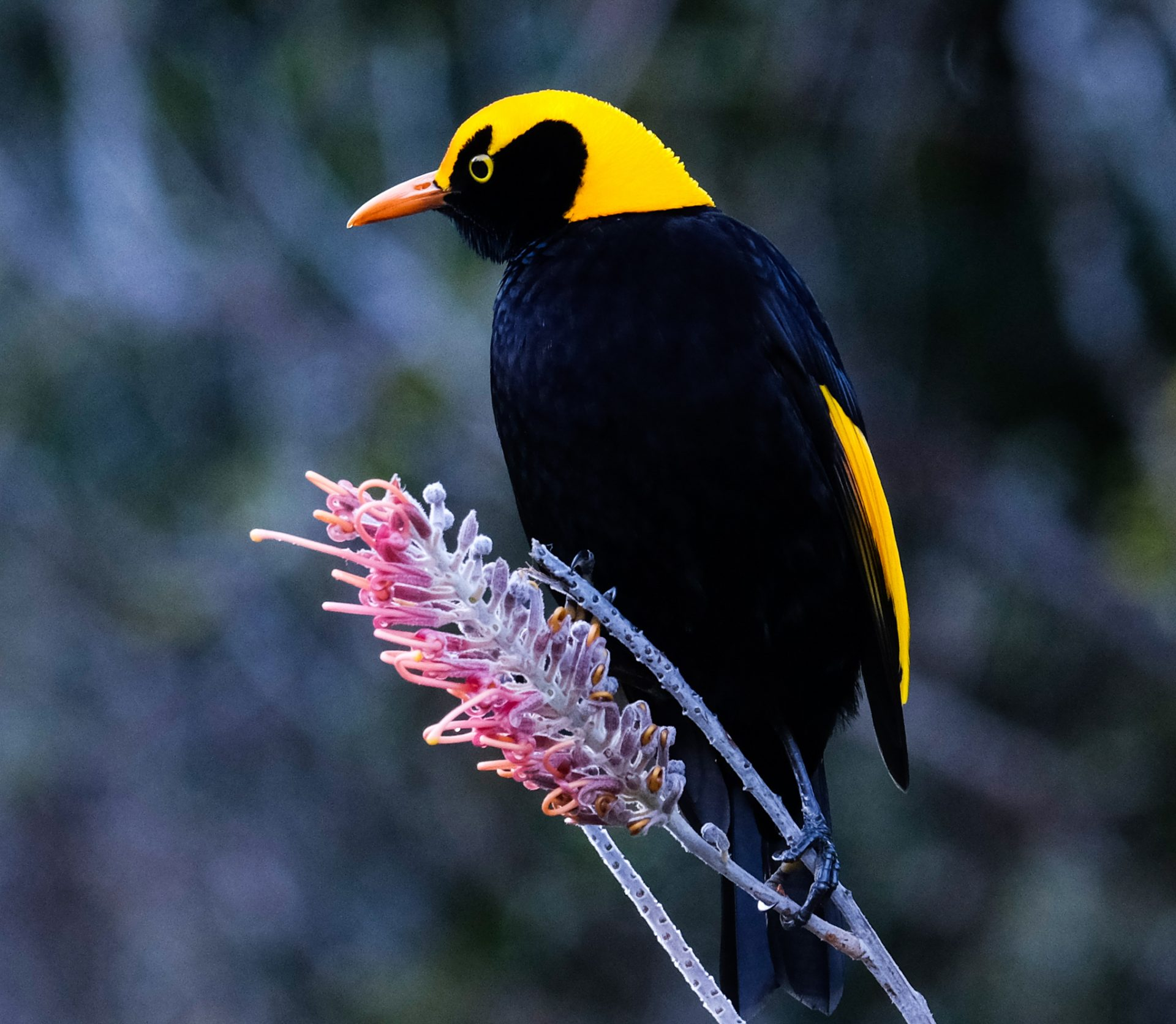 Regent bower bird - male