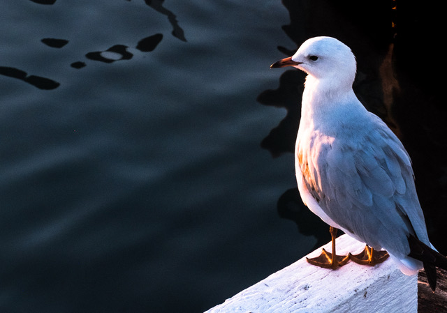 Seagull at Rye-1